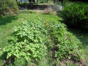 2013.07.10_potatoes_front_SDC10040