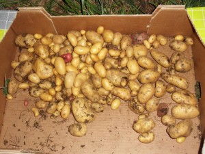 2013.08.13_potatoes_harvest_SDC10247