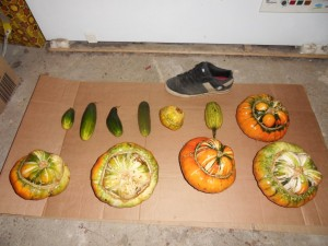 2013.11.19_turkish_gourds_cucumbers_SDC10069